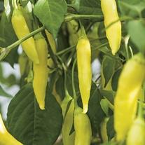 Pepper (Hot) Havana Gold