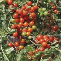 Tomato (Cherry) Sweet Baby