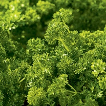 RHS Parsley Curlina