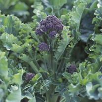 RHS Broccoli (Sprouting) Claret F1