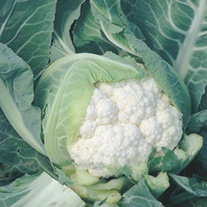 RHS Cauliflower Moby Dick F1
