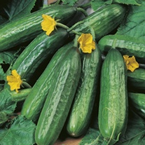 RHS Cucumber Emilie F1 Seeds
