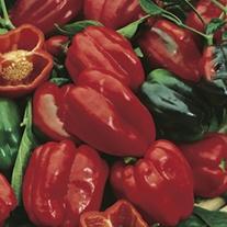 RHS Pepper (Sweet) Redskin F1
