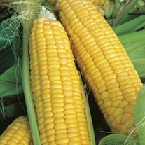 RHS Sweet Corn Lark F1 Seeds