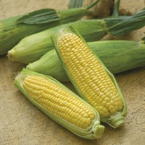 Sweet Corn Mirai 003 F1