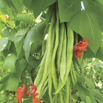 RHS Runner Bean Firestorm Seeds