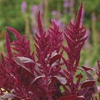 RHS Amaranthus Velvet Curtains