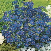 RHS Anagallis Gentian Blue