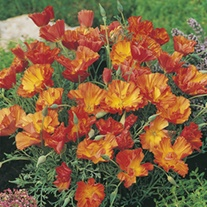 RHS California Poppy Apricot Chiffon