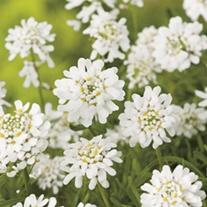 RHS Candytuft (Perennial) Snowflake