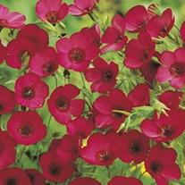 RHS Flax Scarlet - Linum