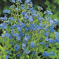 RHS Forget-Me-Not (Chinese)