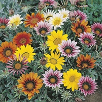 RHS Gazania Talent Mixed