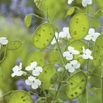 RHS Honesty White-Flowered