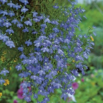 RHS Lobelia Cascade Blue