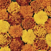 RHS Marigold (French) Bonanza Mixed F1