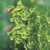 RHS Nicotiana langsdorffii