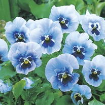 RHS Pansy Joker Light Blue F2