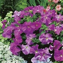 RHS Petunia Storm Lavender F1