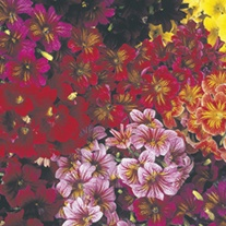 RHS Salpiglossis Royale Mixed F1
