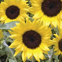 RHS Sunflower Lemon Queen