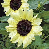 RHS Sunflower Valentine