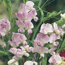 RHS Sweet Pea Pink Pearl