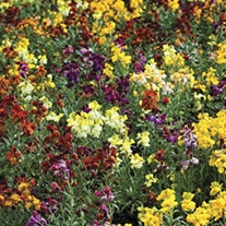 RHS Wallflower Persian Carpet
