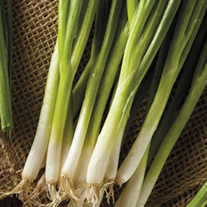 Optigrow Spring Onion Guardsman