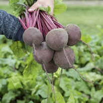 Beetroot Subeto F1 Vegetable Seeds
