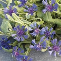 Cornflower Trailing Blue Carpet