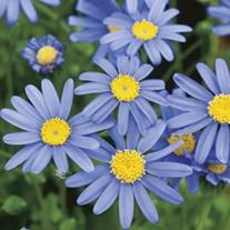 Felica Pretty Blue