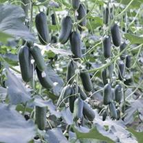 Cucumber Hopeline