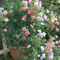 Sweet Pea Balcony Mix