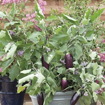 Aubergine Jewel Jet F1 Seeds