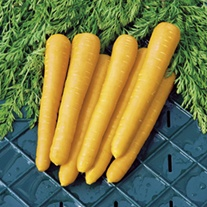 Carrot Gold Nugget F1