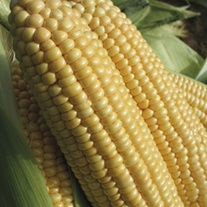 Sweet Corn Gold Crest