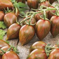 Tomato Shimmer F1