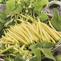 Dwarf (French) Bean Cala D'Or