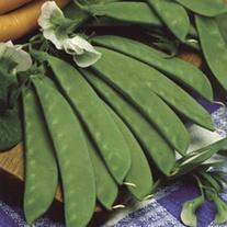 Pea (Mangetout) Sweet Sahara