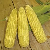 RHS Sweet Corn Mirai Gold F1