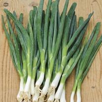 Onion (Spring) Slender Star