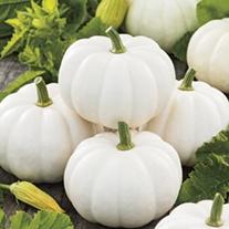 Pumpkin Casperita F1 Vegetable Seeds