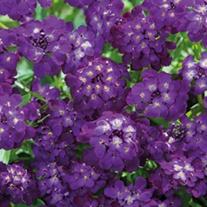 Candytuft Purple Rain Flower Seeds