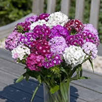 Dianthus Hollandia Mixed