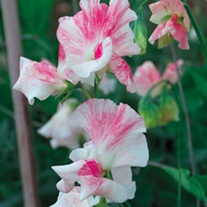 Sweet Pea Mayflower 400