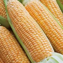 RHS Sweet Corn Prelude F1 Vegetable Seeds