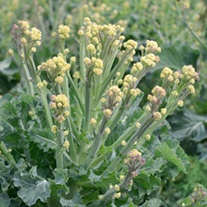 Broccoli White Sprouting Burbank F1
