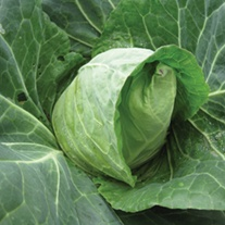 Cabbage Duncan F1
