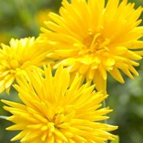 Calendula Porcupine Yellow Flower Seeds